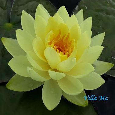 Нимфея желтая
