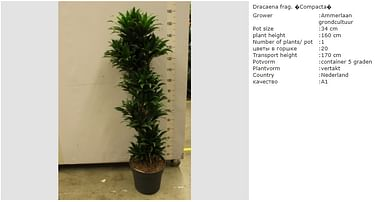 Драцена Компакта 160 см