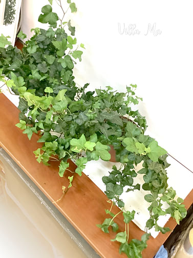 Плющ комнатный зеленый