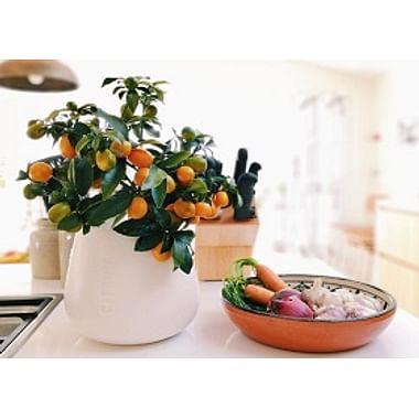 *Цитрусовые растения