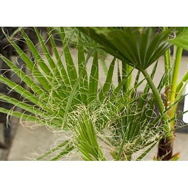 *Пальмы и Фикусы